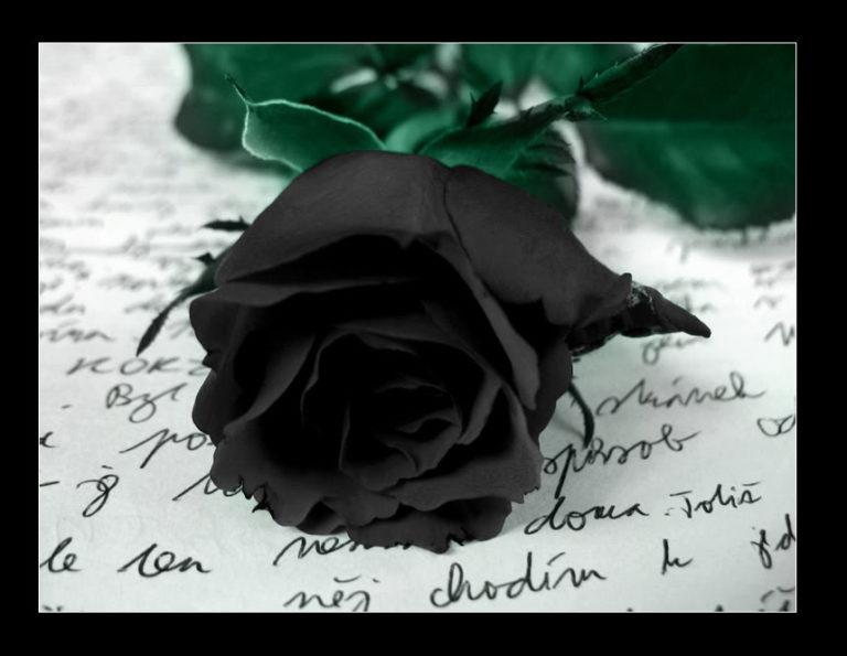 Fresh black roses